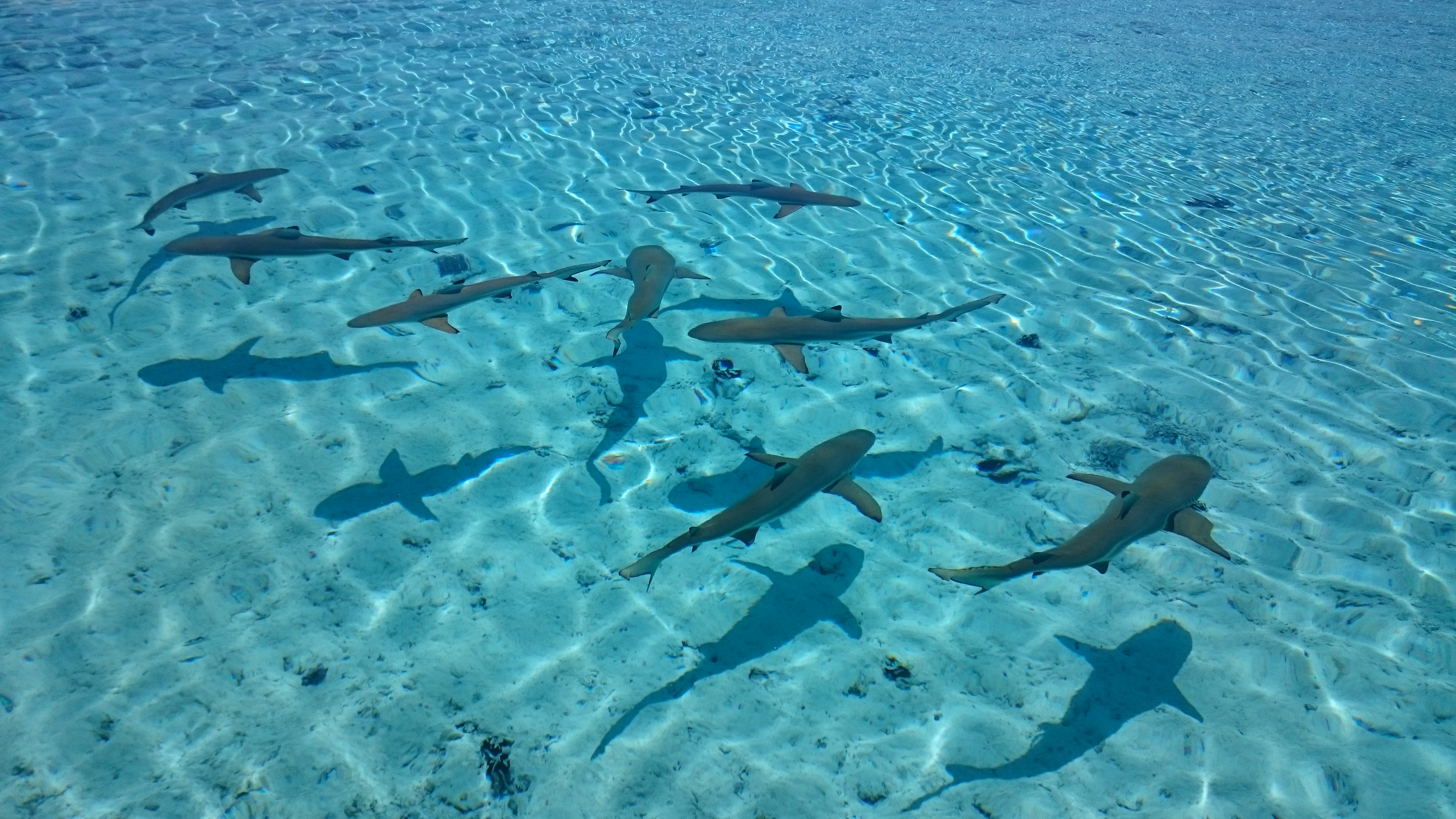 Tubarão Bora Bora - Lua de Mel Bora Bora - Viagem Polinésia Francesa